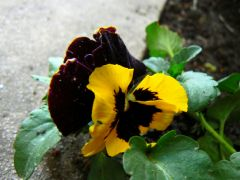 Little yellow pansy