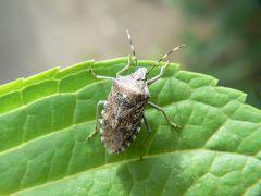 Armored bug